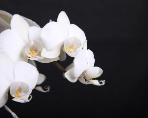 white_orchids (1)